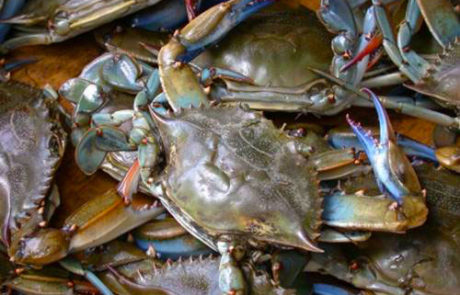 Louisiana Blue Crab - Barataria-Terrebonne National Estuary Program