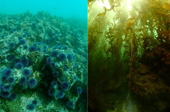 The Bay Foundation: Kelp Forest Restoration