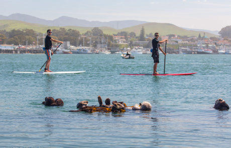Morro Bay: Paddling by otters