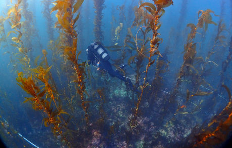 Santa Monica Bay: Kelp Monitoring